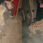 Hyena dragged to Police station after it was found on the streets in Kano (Photos)