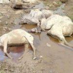 Many Cows Killed As Gunmen Attack Fulani Herdsmen In Plateau (Photos)