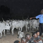 Fulani Family Cries Out As 31 Cows Goes Missing In Kaduna Police Custody After Spending N1.7m On Bail