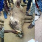 Wild boar killed by group of hunters in Ogun State (Photos)