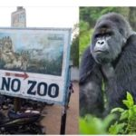 Gorilla 'Swallows' N6.8 Million In Kano Zoo