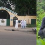 Gorilla Did Not Eat The N6.8M, It Was Scary Armed Robbers That Stole It – Zoo MD