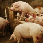 China Reports New African Swine Fever Case In Guangxi