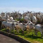 Herdsmen Run For Their Lives As Thunder Suddenly Strikes Over 50 Cows Dead in Ondo (Video)
