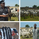 Police Arrest Three Suspects, Recover 1000 Rustled Cattles, Rifles And Cartridges
