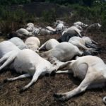 Dead Cows: Epidemic Looms In Ondo Community