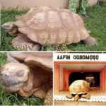 What A Historical Loss! 344-Year-Old Sacred Tortoise In Soun's Palace, Is Dead (photos)