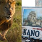 Escaped Kano Zoo Lion Captured After Devouring Goats In Cage