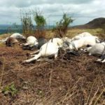 Shock As Thunder Kills 17 Cows On A Farmland In Osun
