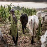 Herdsmen Destroy 100 Hectares Of Rice Farm In Ondo
