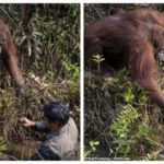 PHOTOS: Orangutan Reaches Out Hand To Rescue Man Stuck In A River In Asia