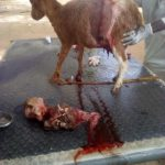 PHOTOS: Goat Gives Birth To Strange Kid With A Human-Shaped Skull In Argungu, Kebbi State