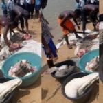 Crocodile caught, butchered for meat in Bayelsa (PHOTOS)