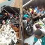 Passengers Hidden Among Rams Caught Sneaking Into Kaduna (PHOTOS)