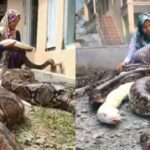 Meet The 14-Year-Old Girl Who Has Six Giant Pythons As Her Pets (Photos)