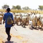 Suspected Herdsmen Reportedly Destroy N6.6m Maize Farm In Ekiti Forest Reserves