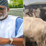 """Any Cow Seen In Akure Will Be Arrested""- Rotimi Akeredolu (VIDEO)"