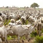 Cattle Traders Embark On Strike