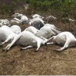 Apprehension As Police Commence Investigation Into Mysterious Death Of Cows In Ondo