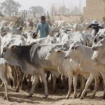 Ondo: Amotekun Arrests Herdsmen, 180 Cows For Disobeying Anti-Open Grazing Law
